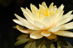 photo of lotus